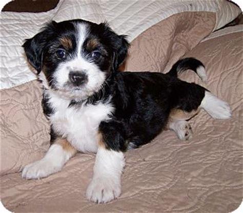 cocker spaniel havanese mix tibetan terrier mix for adoption breeds picture