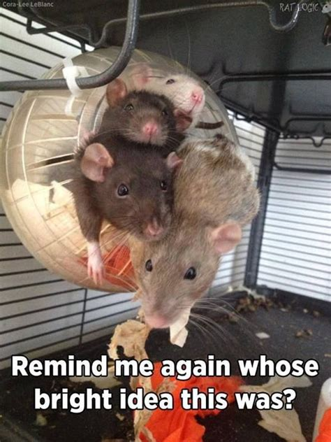 Rodent Meme - looks comfortable the best of rat logic pinterest