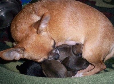 newborn chihuahua puppies chihuahua breed pictures 7