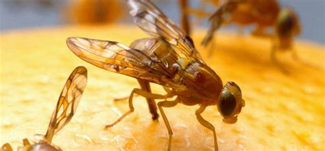 how to get rid of fruit flies with home remedies