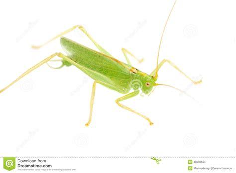 imagenes de grillos verdes grande bush grillo verde fotografia stock immagine di