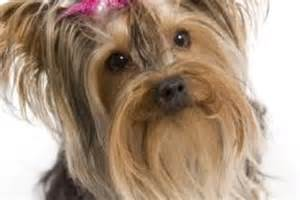 yorkie hairstyles yorkie haircut exles yorkie haircuts with floppy ears dog breeds picture