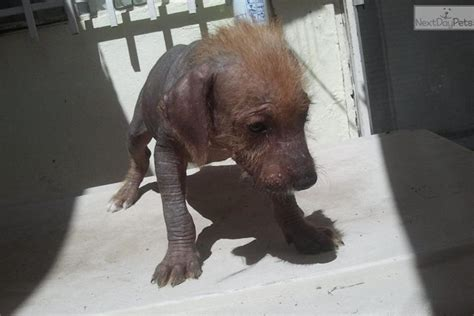 xoloitzcuintli puppies xoloitzcuintli puppy for sale near el paso 2790e75a fae1