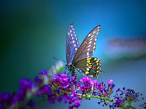 butterfly background wallpaper bluos butterfly wallpaper