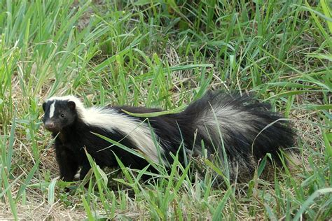 skunk in backyard backyard beasts skunk diggings and droppings
