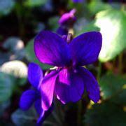 nomi di fiori viola nomi di fiori viola significato fiori nomi di fiori