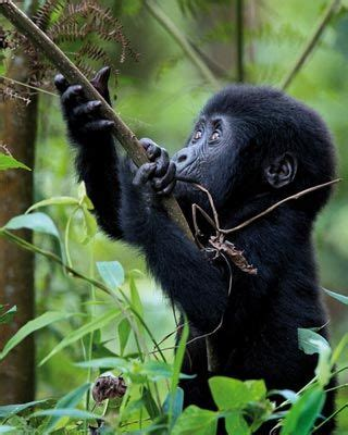 amazon rainforest animals gorilla 8 best images about cross river gorilla highland
