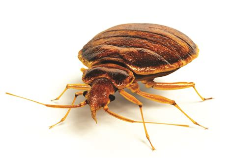 bed bugs pics pests that go bump in the night batzner blog batzner