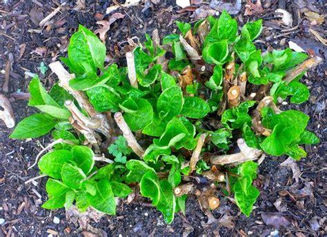 significato fiore ortensia ortensie potatura fiori ortensia o hydrangea coltivazione