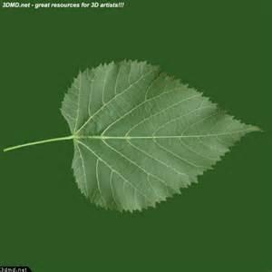 linden tree leaves textures linden tree leaf texture