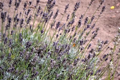 visiting steed company lavender farm