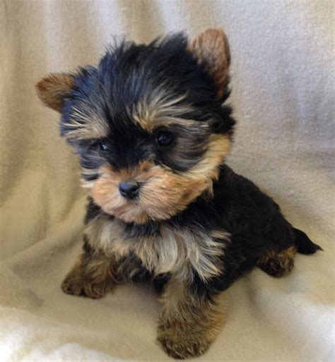 yorkie breeders in illinois yorkie puppies for sale in illinois terrier puppies breeds picture