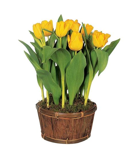 potted tulips bing images