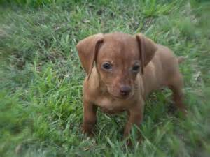miniature dachshund puppies for sale nc miniature dachshund puppies for sale in carolina nc