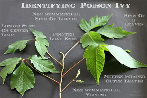identify poison ivy leaves how to identify and treat poison ivy house of hawthornes