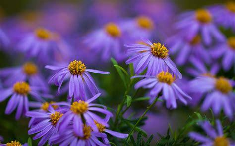 Gamis Purple Flower 1 purple flower a1 hd desktop wallpapers 4k hd