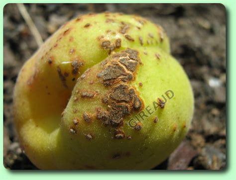 Maladie Abricotier Gommose by Le Coryneum De L Abricotier Les Maladies Des Plantes