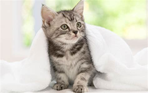 gato american wirehair mundogatoscom