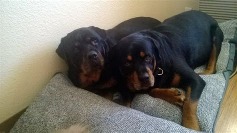 rottweiler socialization owner of quot grieving quot rottweiler denies social media claims the was a scam