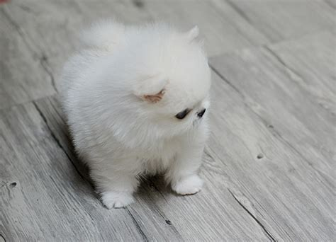 teacup pomeranian for sale sydney tiny teacup pomeranian puppies for sale