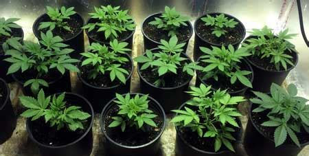 sea of green tutorial increase yields by growing more