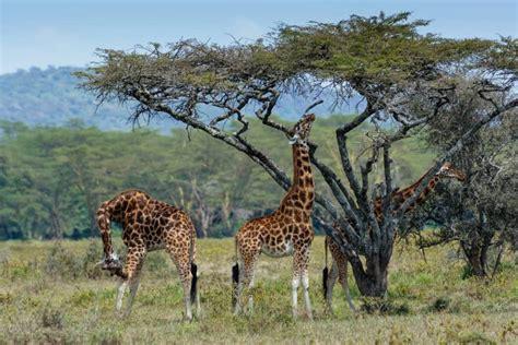 imagenes de jirafas comiendo hojas 20 ejemplos de selecci 243 n natural