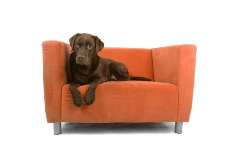 teach dog to stay off couch dog won t stay off the sofa pet lovers manual toronto star