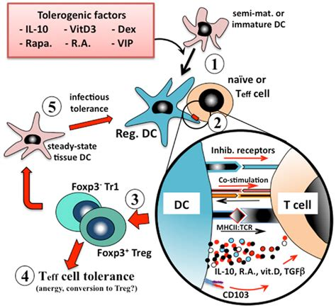 frontiers tolerogenic dendritic cells for frontiers regulatory dendritic cells for immunotherapy