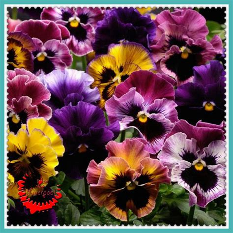 pansy colors buy wholesale pansy colors from china pansy colors