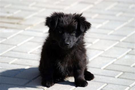 black fluffy puppy black by ksienrzniczka on deviantart
