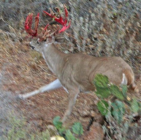 shedding velvet whitetail deer