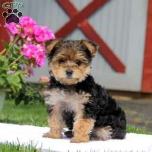 yorkie poo breeders in pa yorkiepoo puppies for sale from reputable breeders greenfield puppies