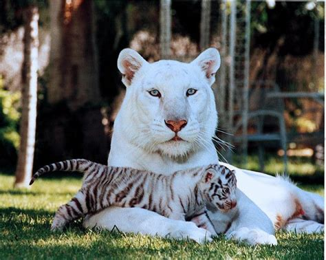 top 25 ideas about tiger on white best 25 white tigers ideas on black tigers