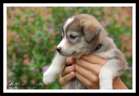 alaskan husky golden retriever mix puppies for sale golden retriever husky mix breeders breeds picture