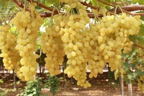 piantare uva da tavola в приднестровье активно идёт уборка столовых сортов