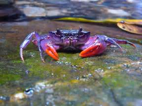 what color are crabs nearly 500 new species discovered at senckenberg