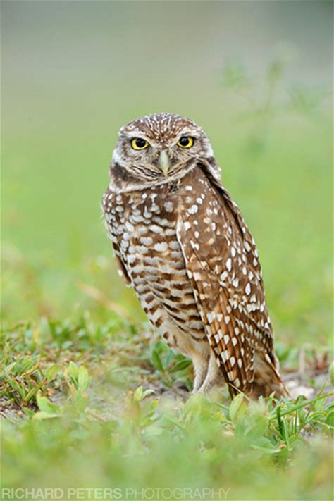 burrowing owl florida flickr photo sharing