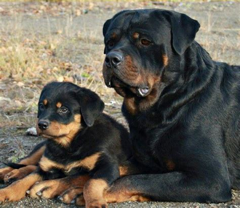 rottweiler the cat so much beautiful rottweilers reigning cats and dogs