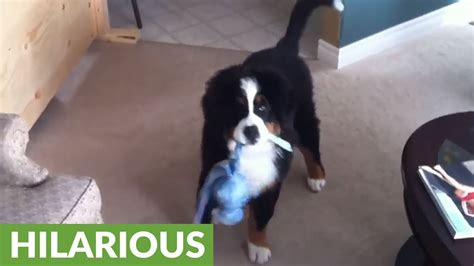 when you an anxious puppy buzzfeed puppy bronco busts just like a funnycat tv