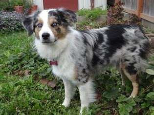 border aussie puppies for sale view ad border aussie puppy for sale washington sedro woolley usa