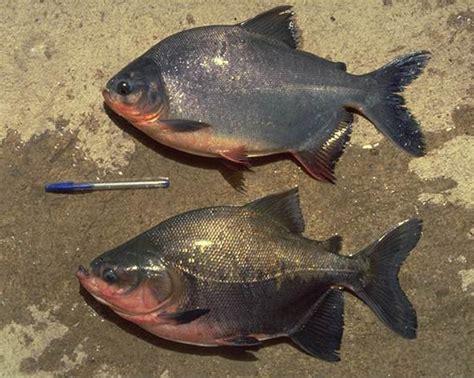 Bibit Ikan Bawal Air Tawar proses pembenihan ikan bawal air tawar bibitikan net