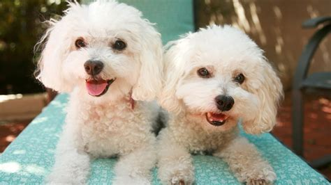 bichon frise puppies for sale bichon frise puppies for sale at petsyoulike