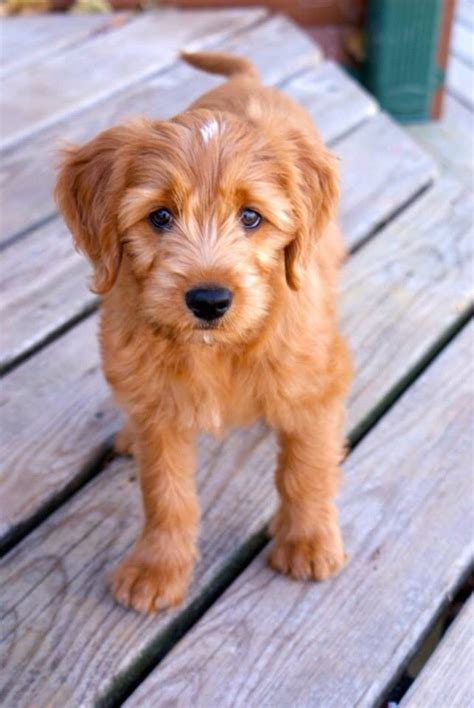 25 Best Ideas About Goldendoodle Miniature On
