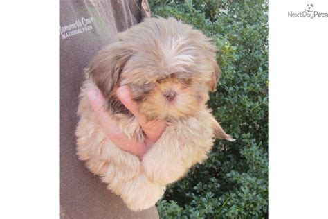 shih tzu breeders in tennessee shih tzu puppy for sale near nashville tennessee 25779af4 0581