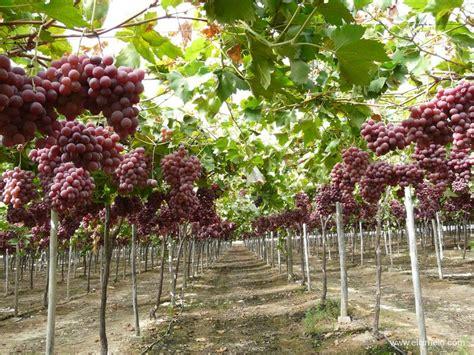 uva da tavola globe fruta de hueso y uva de mesa productos el ciruelo