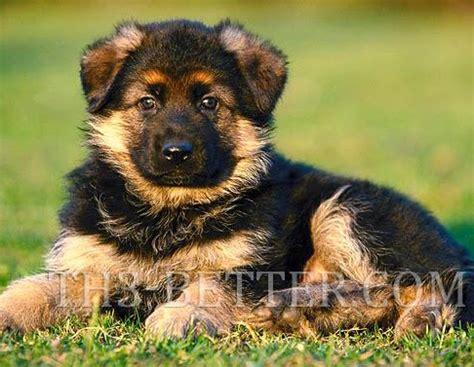how much to feed german shepherd puppy german shepherd puppies behavior site root community
