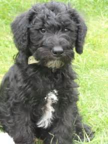 Schnoodle puppies for sale uk images amp pictures becuo