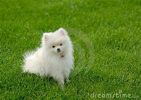 half husky half pomeranian for sale half husky half pomeranian for sale image breeds picture breeds picture