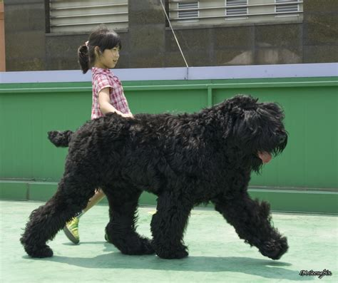 large russian breeds black russian terrier breed guide learn about the black russian terrier