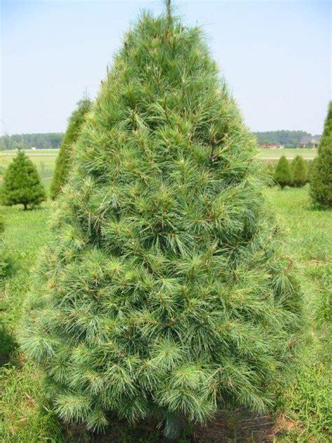 Beautiful Slim Christmas Trees For Sale #10: WhitePine.jpg